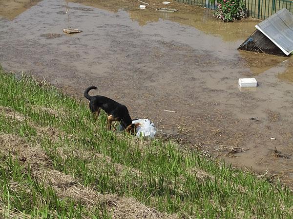 残された飼い犬が放浪している